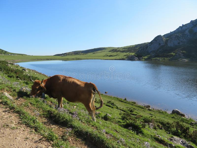 Beautiful large cows and well nourished by the green pastures of the mountain stock image