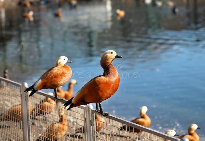 Beautiful large duck royalty free stock photo