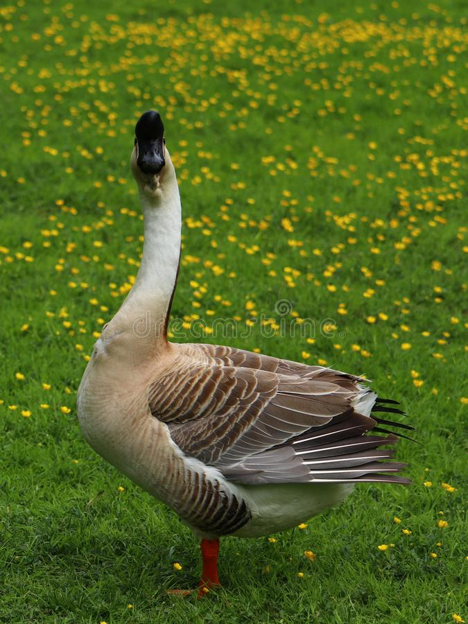 Portrait of a brown Chinese goose on a buttercup meadow in Germany. stock images