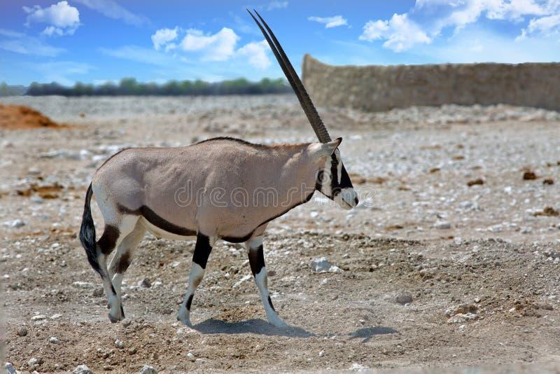 Beautiful Large Male Oryx walking across the cry Etosha Plains. Gemsbok Oryx walking acroas the harsh arid plains in Etosha National Park, Namibia royalty free stock image