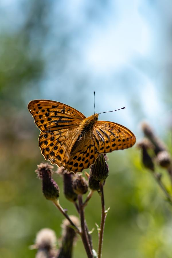 Beautiful large orange and black spotted butterfly stock photo