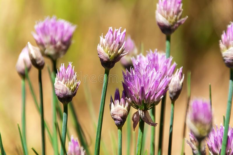 Beautiful large purple chive flowers. Purple chives flowers growing in the herb garden. Beautiful large purple chive flowers. Purple chives flowers growing in royalty free stock image