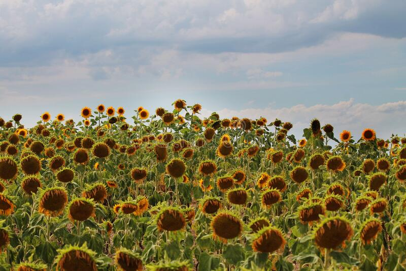 Summer large sunflowers  field background royalty free stock images