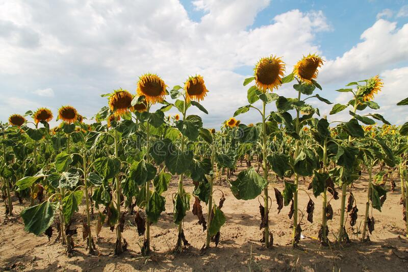 Summer large sunflowers  field background, awful drought stock photos