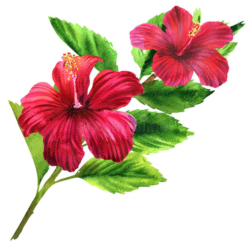 Beautiful large tender pink flower, bright red blooming tropical flower with leaves, romantic bouquet, isolated, hand stock photography