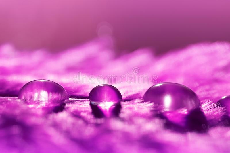 Beautiful large water dew drops on a purple feather close up. Nature background stock photography