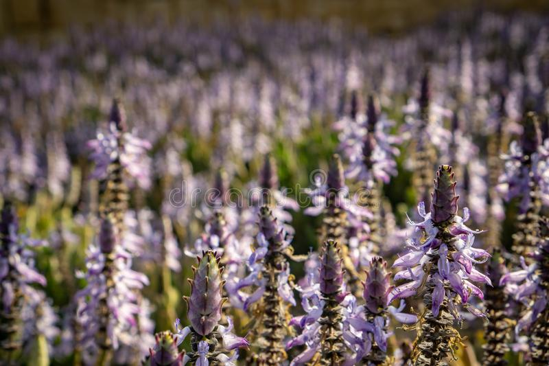 A lavender field in the morning stock image