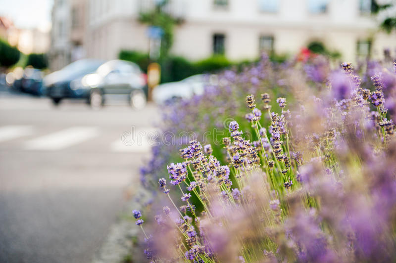 Beautiful lavender field with car in the background royalty free stock photos