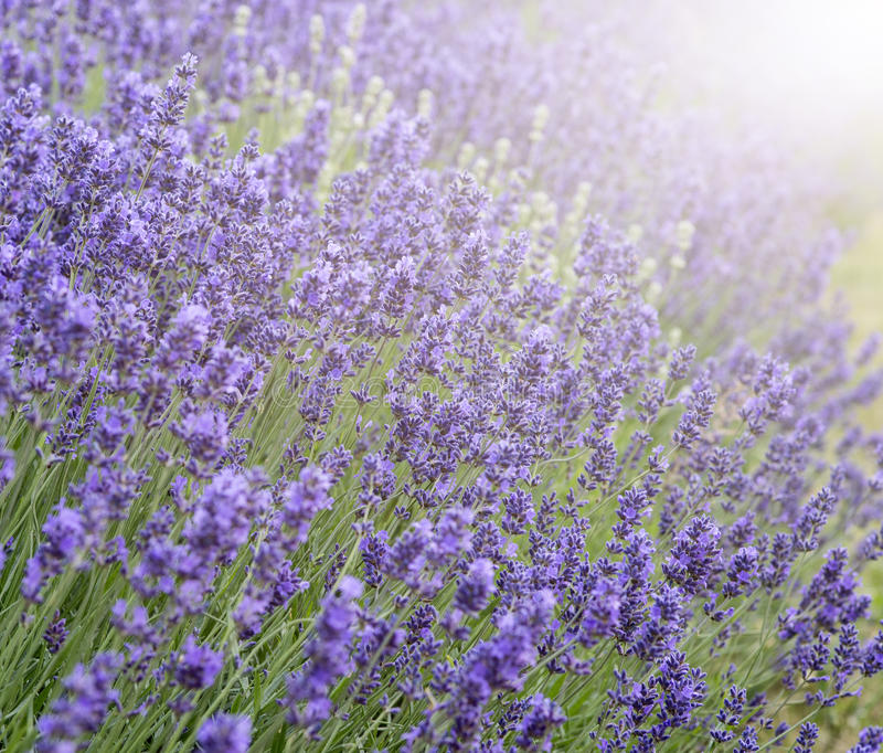 Beautiful lavender field with sun flare and shallow depth of fie. Ld differential focus technique royalty free stock photography