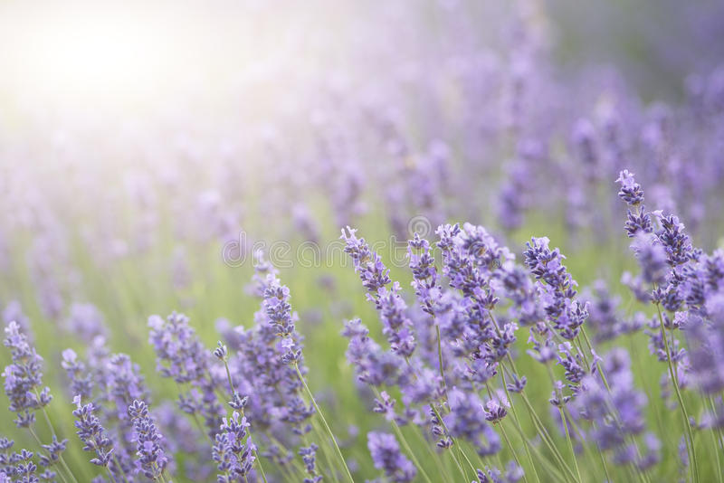 Beautiful lavender field with sun flare and shallow depth of fie. Ld differential focus technique stock photography