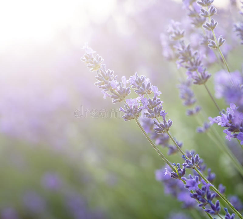 Beautiful lavender field with sun flare and shallow depth of fie. Ld differential focus technique stock images
