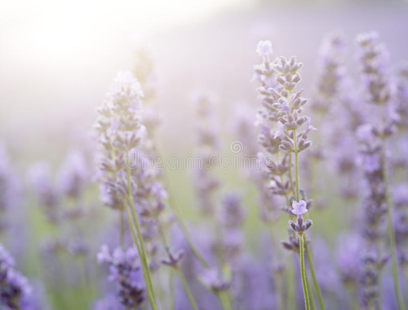 Beautiful lavender field with sun flare and shallow depth of fie. Ld differential focus technique stock photos