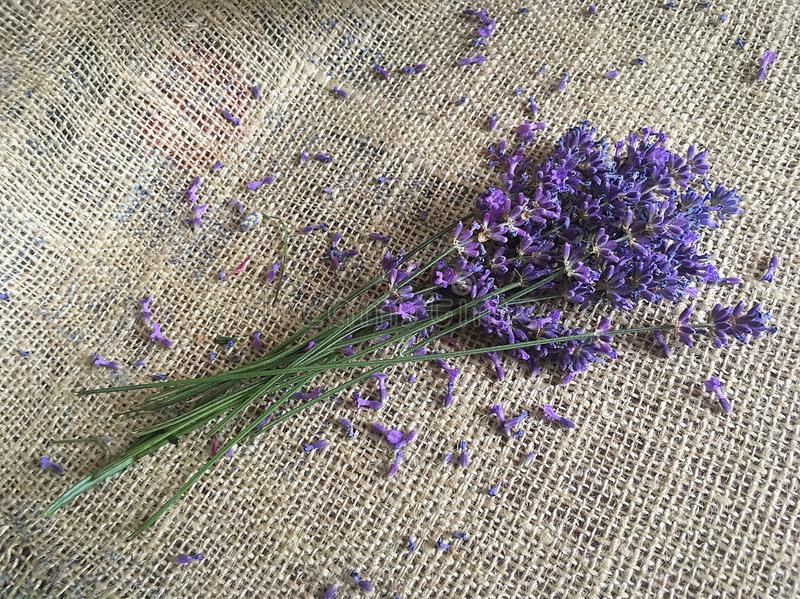 Beautiful lavender flower on canvas royalty free stock photos