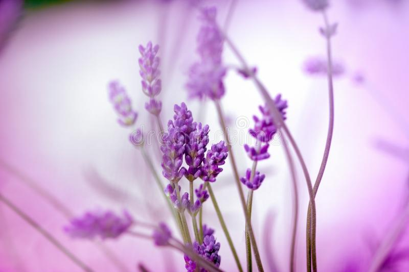 Beautiful lavender flower closeup flower in flower garden royalty free stock images