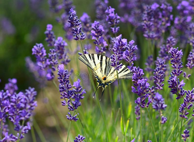 Beautiful lavender  flowers with butterfly royalty free stock photo