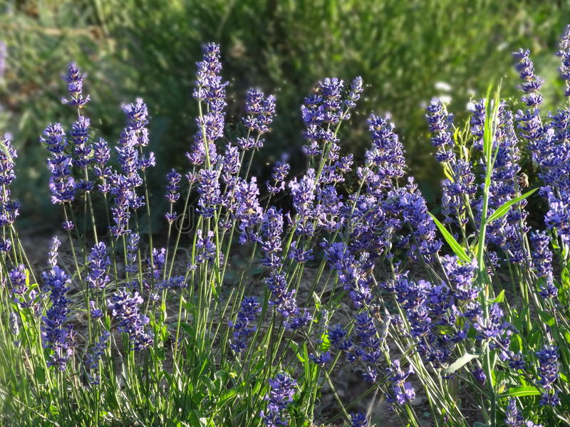 Beautiful lavender flowers in the field royalty free stock image