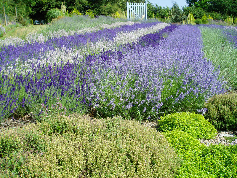 Download Beautiful Lavender Flowers In Full Bloom Stock Photography - Image: 10046242