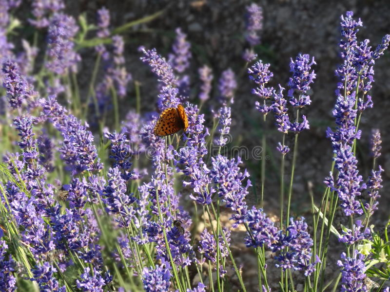 Beautiful lavender flowers in nature royalty free stock photography