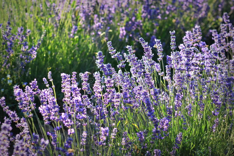 Beautiful lavender flowers in nature royalty free stock image