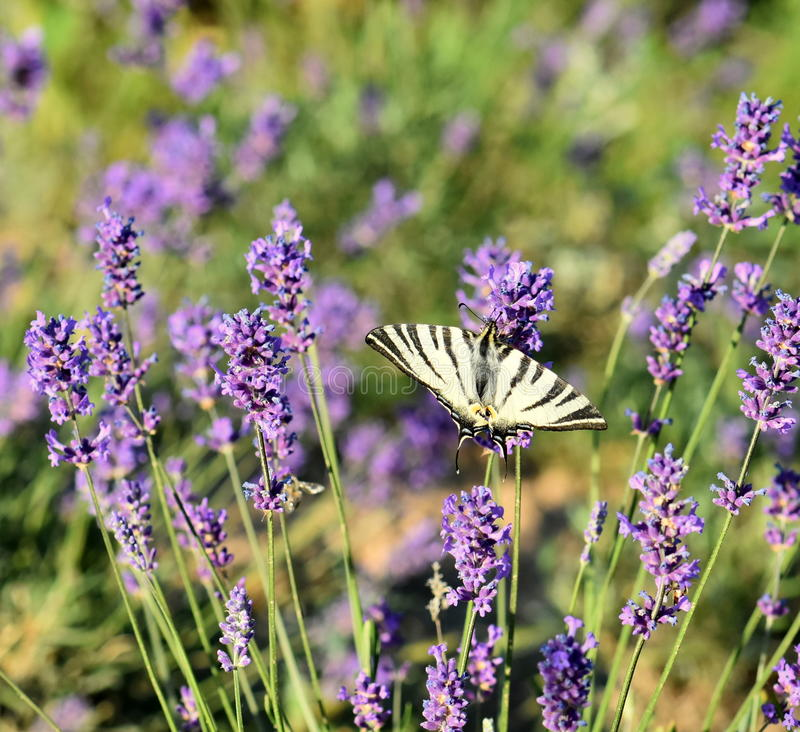 Beautiful lavender flowers in nature royalty free stock photos