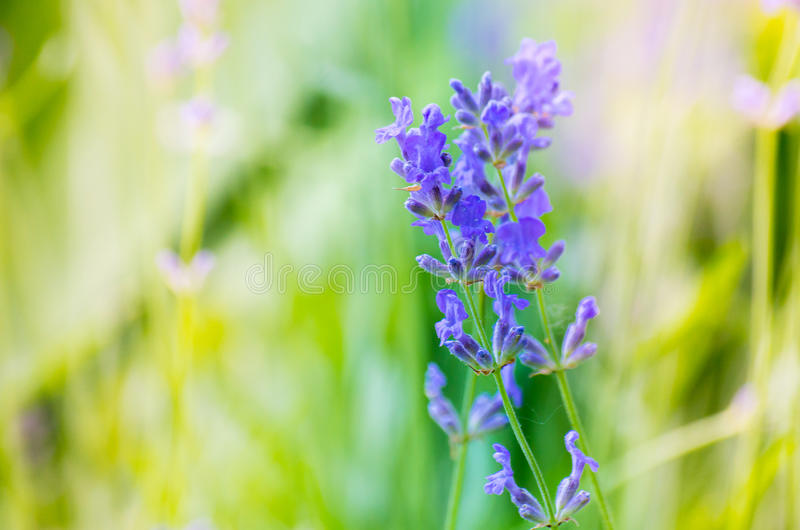 Beautiful Lavender Flowers shrub in garden. With blurred natural background royalty free stock photography