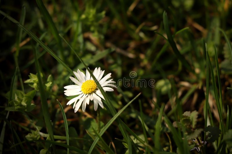 A beautiful lawn daisy in the middle of grassland. Very nice present for mother or for decoration to your house royalty free stock photo