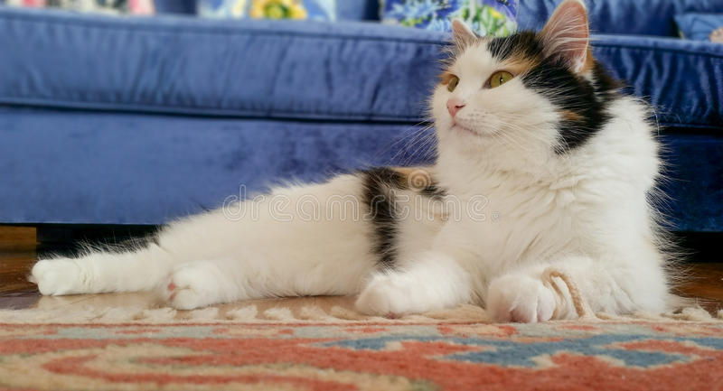 Beautiful laying cat on a red carpet at home. Beautiful cat laying on a red carpet royalty free stock image