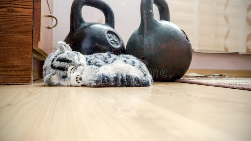 Gray Striped purebred cat on the floor stock images