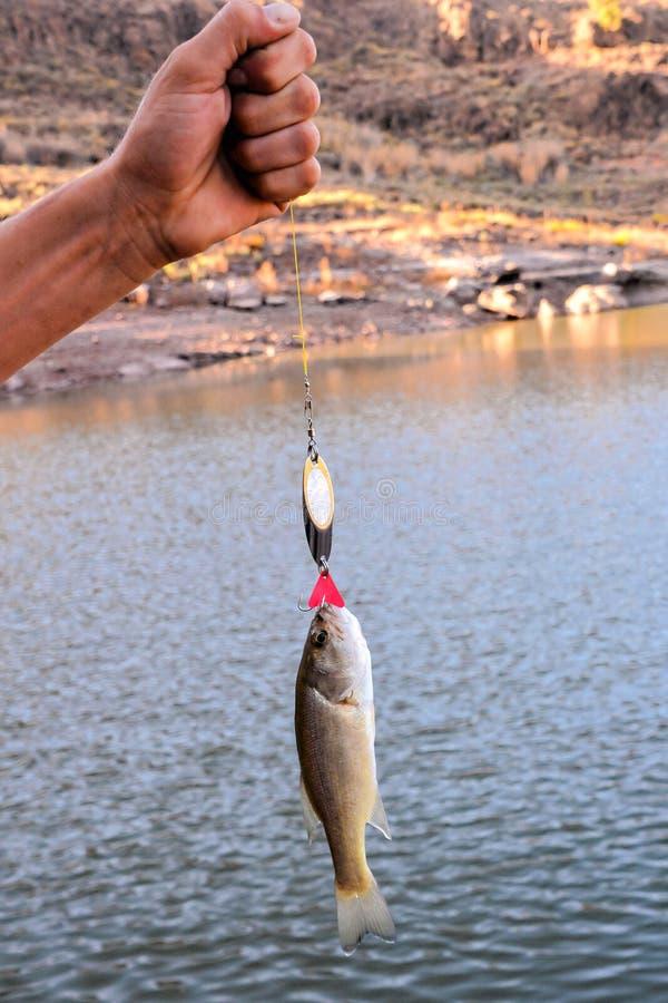 Largemouth Bass fish stock photography