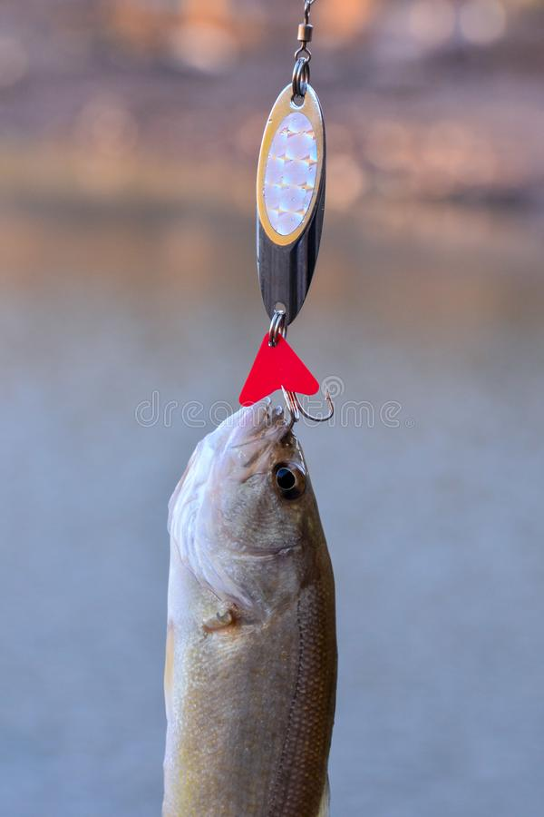 Largemouth Bass fish royalty free stock images