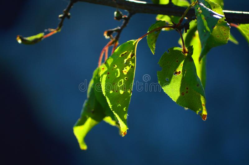 Beautiful leaves of apricot. Bright sun and dark blue background. Beautiful leaves. Bright sun and dark blue background. Pleasant summer weather. Nice atmosphere stock photos