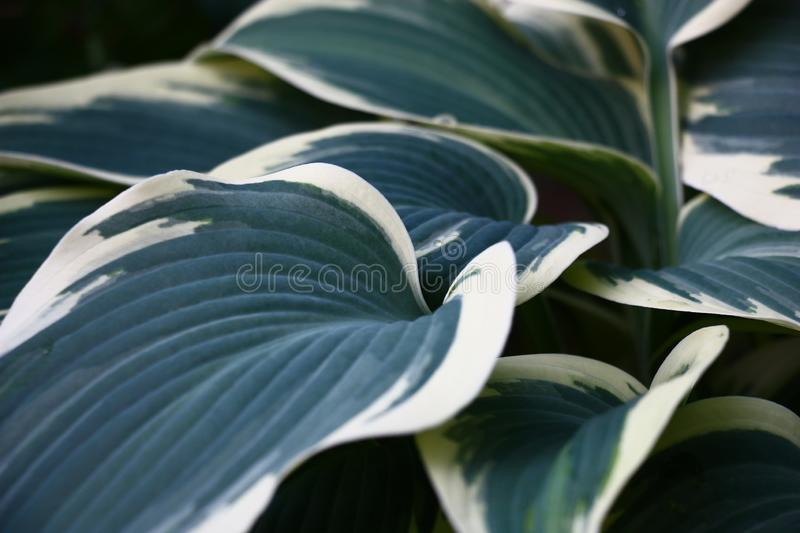 Leaves hosts. Blue with white. Beautiful leaves blue hosts against a dark background. Soft water color forms stock image