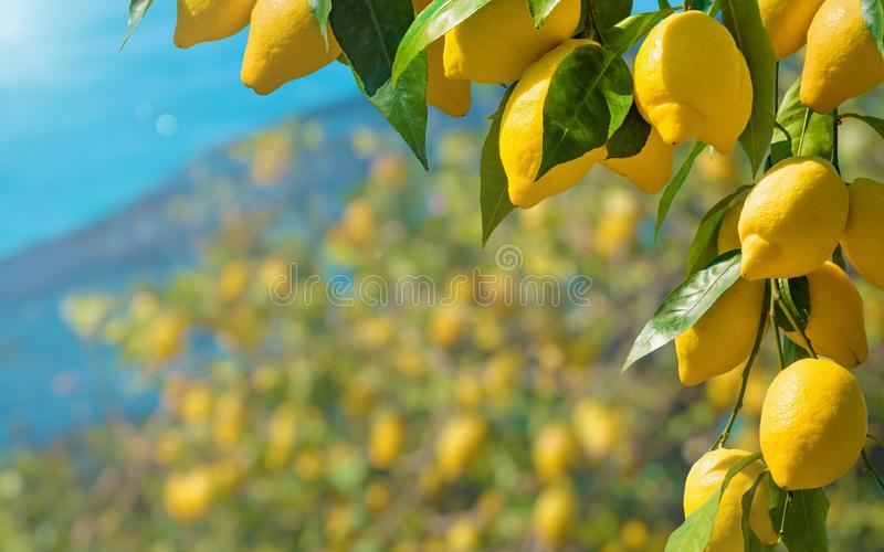 Beautiful lemon garden, bunches of fresh yellow ripe lemons with green leaves royalty free stock images