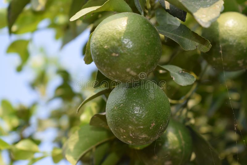 Beautiful lemon plant of leaves royalty free stock photo