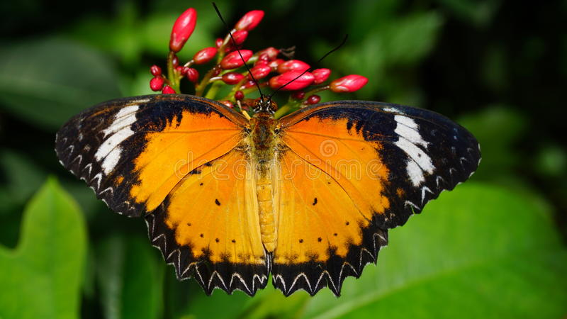 Beautiful Leopard Lacewing Butterfly. A beautiful Leopard Lacewing (Cethosia Cyane) butterfly native to Asia photographed in Phoenix, Arizona stock images