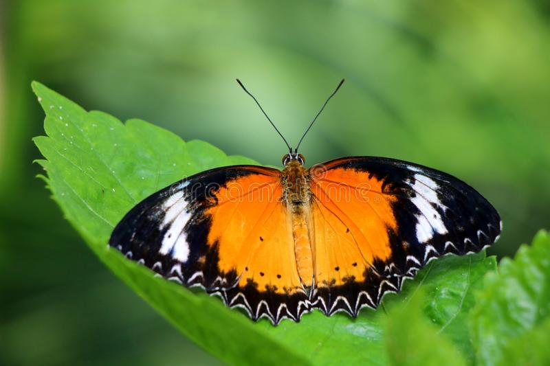 Beautiful Leopard Lacewing Butterfly. A beautiful Leopard Lacewing (Cethosia Cyane) butterfly native to Asia photographed in Phoenix, Arizona stock photography