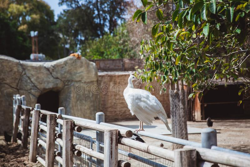 A beautiful Leucistic Peacock showing its white plumage. A beautiful white Leucistic Peacock showing its white plumage in small zoo in Cyprus stock image