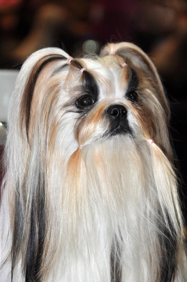 Download Beautiful Lhasa Apso dog stock image. Image of pedigree - 39513277