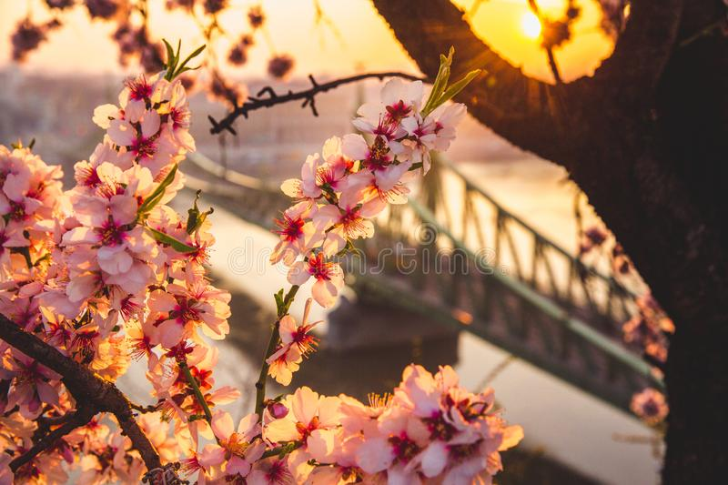 Beautiful Liberty Bridge at sunrise with cherry blossom in Budapest, Hungary. Spring has arrived to Budapest. Beautiful Liberty Bridge at sunrise with cherry royalty free stock photos