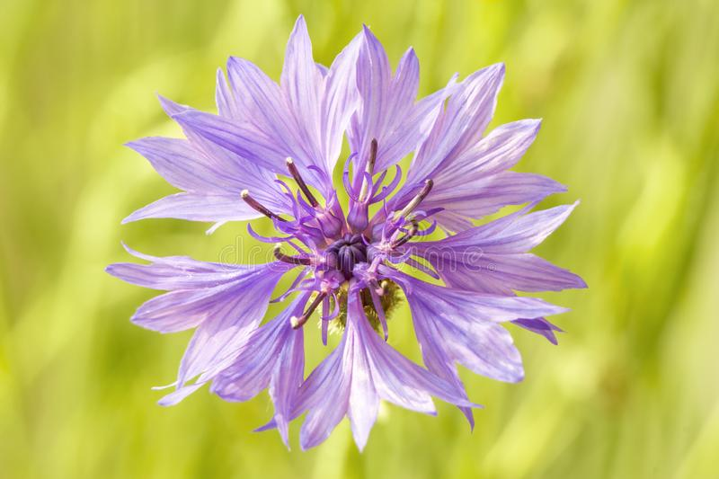 Beautiful light blue cornflower in sunny summer garden. Bright knapweed with lush blue petals. Close-up stock image