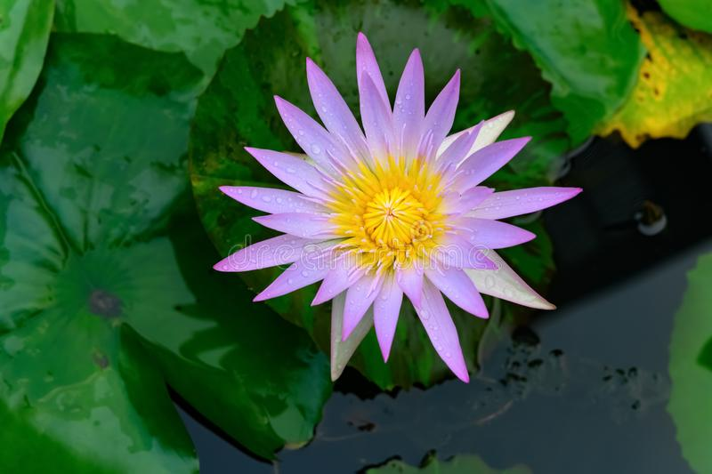 Beautiful light lilac & yellow water lily on the pond. Beautiful light lilac and yellow water lily on the pond stock photo
