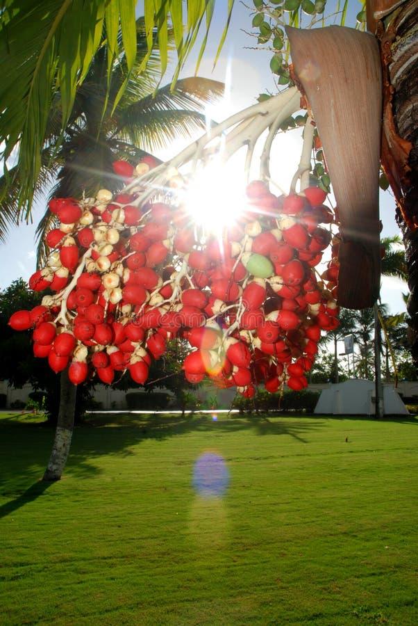 Download Beautiful Light Palm Tree Fruit Stock Image - Image: 6066419