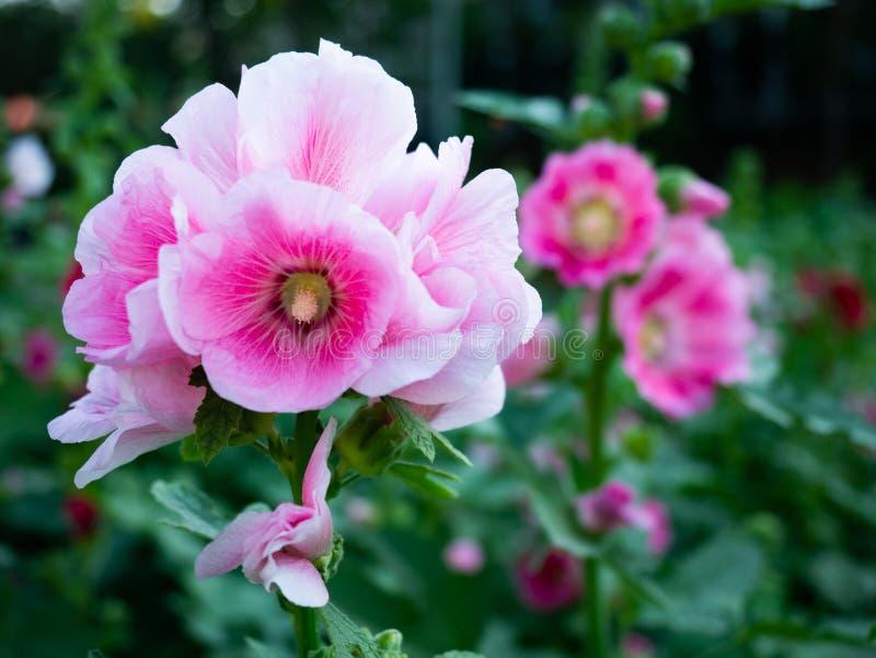 Beautiful light pink.alcea rosea in garden stock images