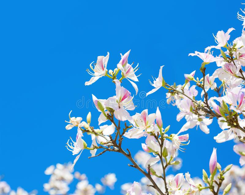 Beautiful light pink flowers Orchid Tree on blue sky background royalty free stock photo