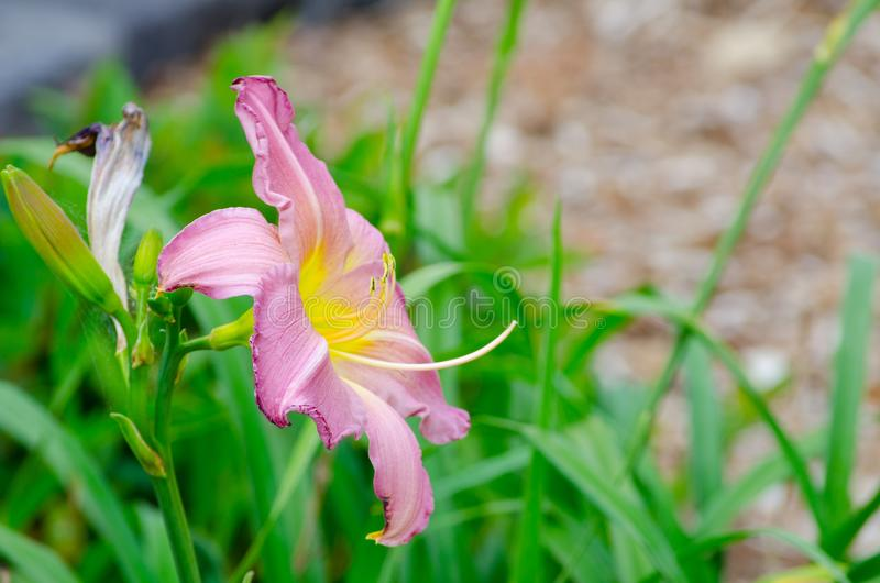 Beautiful light pink purple Daylily flower in a spring season at a botanical garden. royalty free stock images