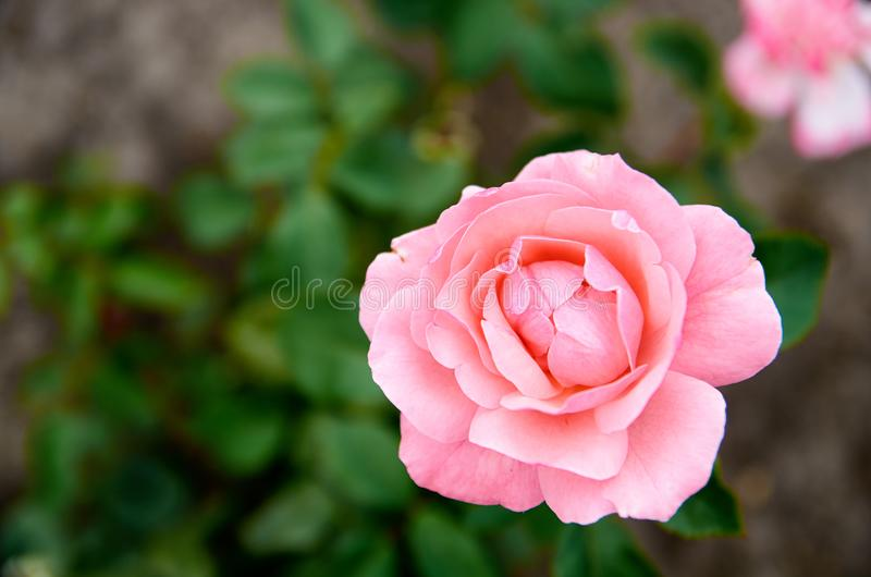 Beautiful light pink rose isolated bloom on blurred green background in the garden close up with copy space on the left side stock image