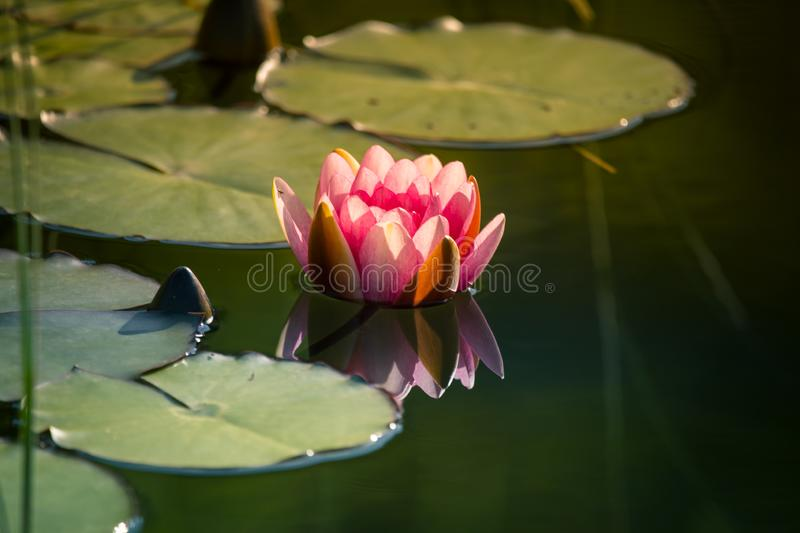 A beautiful light pink water lilies growing in a natural pond. royalty free stock photography