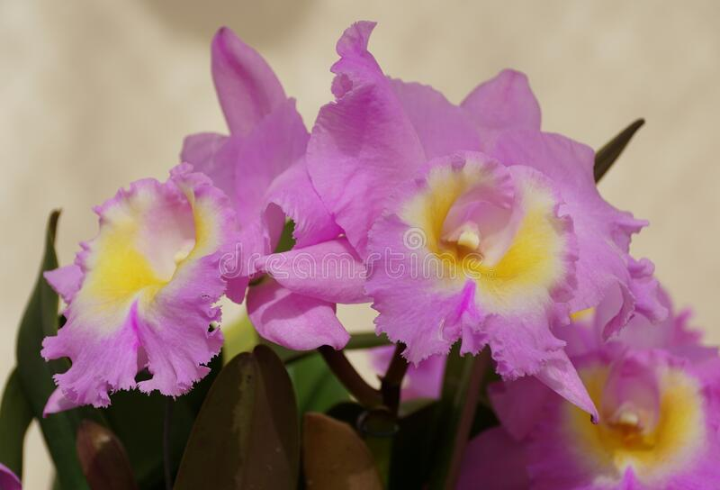 Beautiful white Brassavola Little Stars tiny orchid flowers stock photography