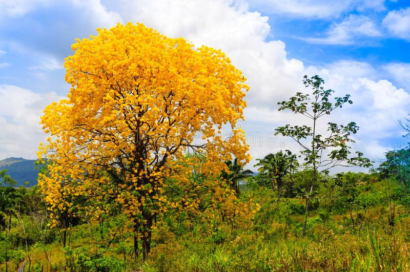 Beautiful lignum vitae tree flowering in the countryside of Panama royalty free stock photography