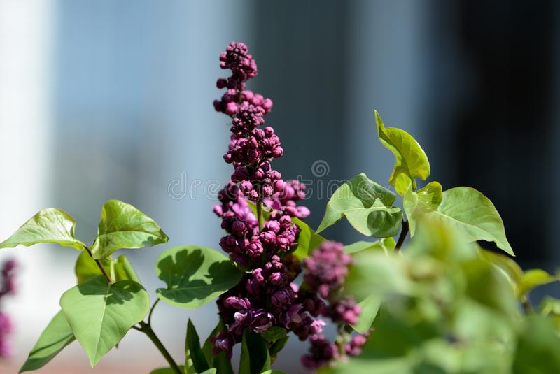 Beautiful lilac begins to bloom in the garden on a sunny spring day. Beautiful lilac begins to bloom in the garden on a bright sunny spring day royalty free stock photos